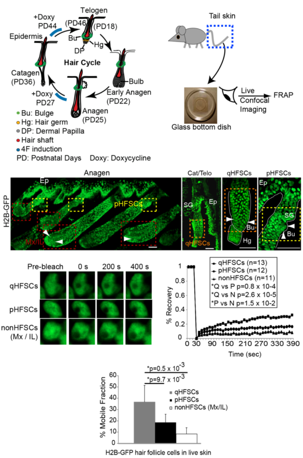 Linking chromatin dynamics, cell fate plasticity, and tissue homeostasis in adult mouse hair follicle stem cells