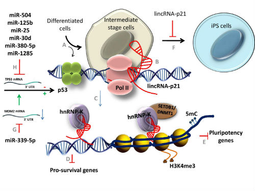 New insights into the role of non-coding RNAs as transcriptional targets of p53